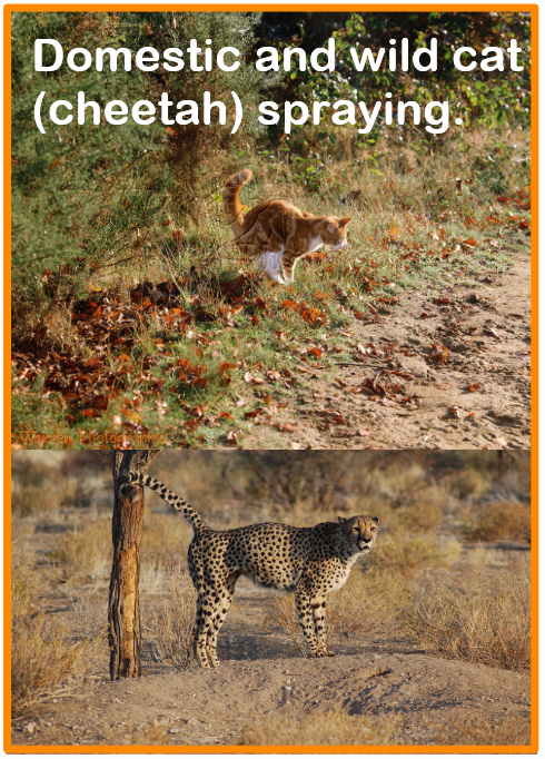 How often do cats spray?
