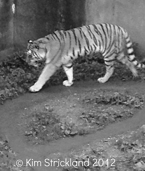 Tiger pacing -- You can see the track that he/she has created by endless pacing in this dismal enclosure.