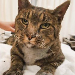 Singed tabby cat rescued from California fires