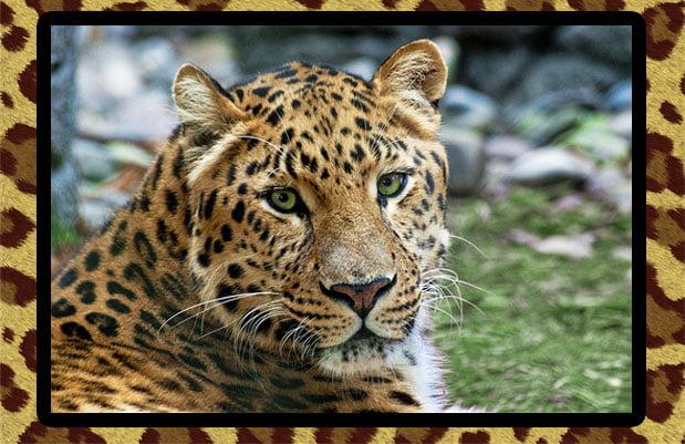 Amur leopard in captivity