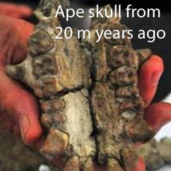 Ape skull from 20 million years ago