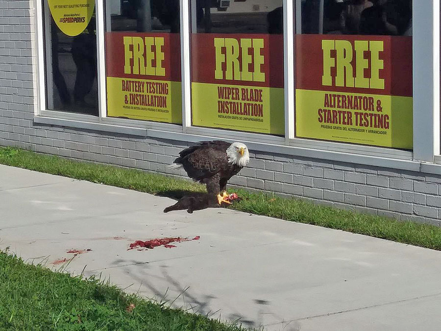 Bald eagle eats black cat in middle of town