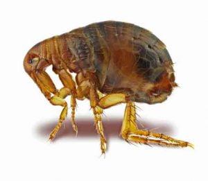 Cat fleas don't fly
