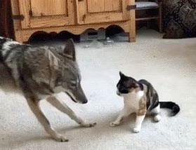 Cat plays with coyote