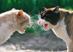 Feral cat fight
