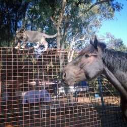 Lewis a stable cat working for the WA mounted police