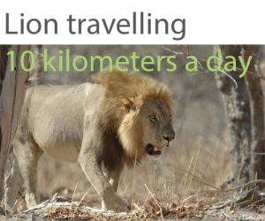 Lion travelling around ten kms per day