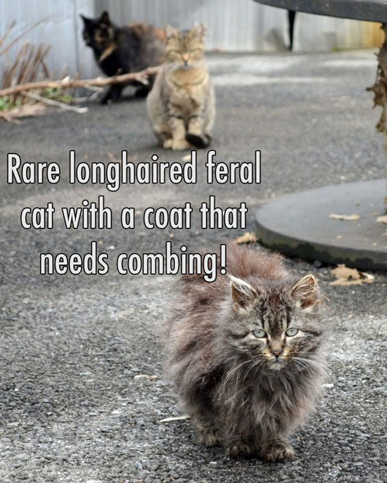 Long haired feral cats are uncommon