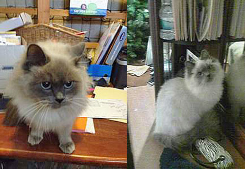 Longhaired Siamese for adoption asap