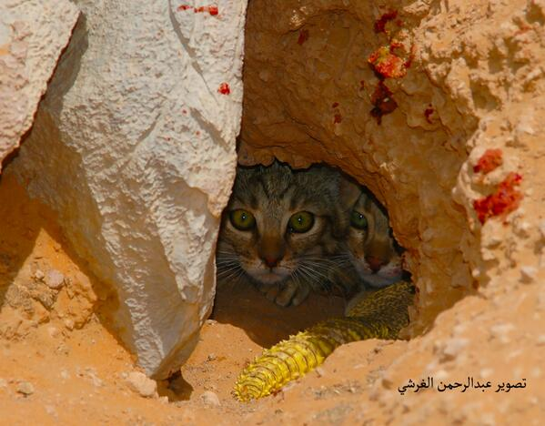 Sand cat burrow