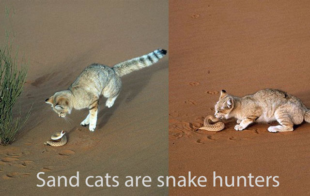 Sand cats eat ten percent of their body weight per day