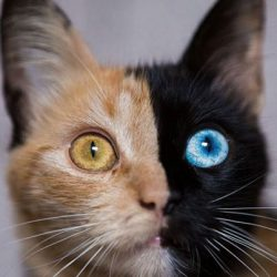Two-faced cat Chimera cat