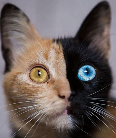 Stunning Two Faced Chimera Cat Quimera