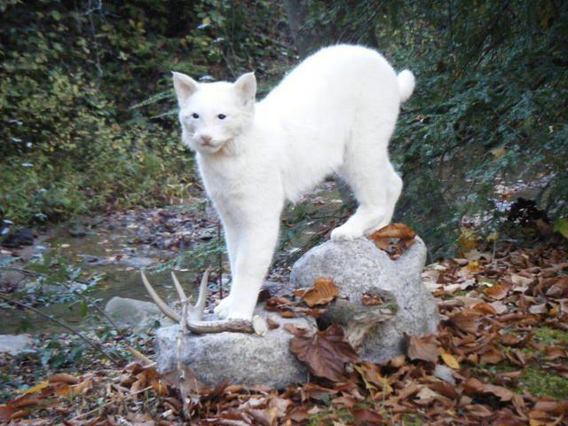 Albino Bobcat Picture