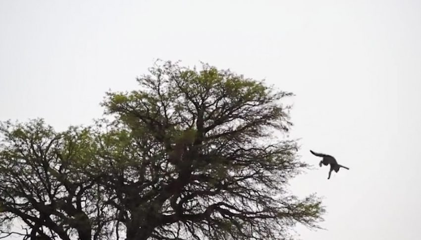 Caracal chases African wild cat out of tree and follows
