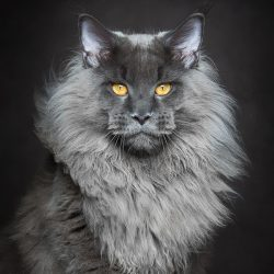 King of Maine Coons
