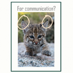 Bobcat's lynx tipped ears