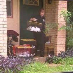 Cats being removed from cat hoarder's home in San Antonio. They had to knock down the door.
