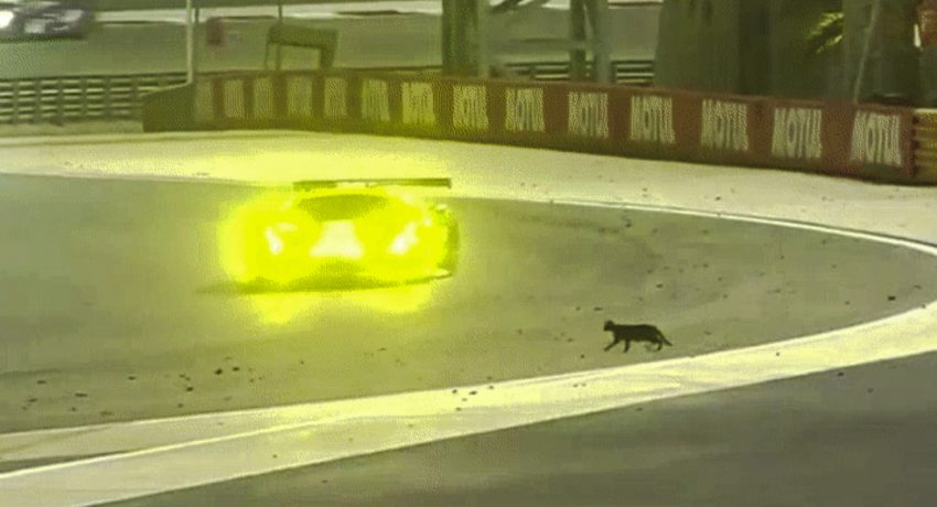 Cat on race track and stops it