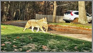 Coyote with cat in mouth