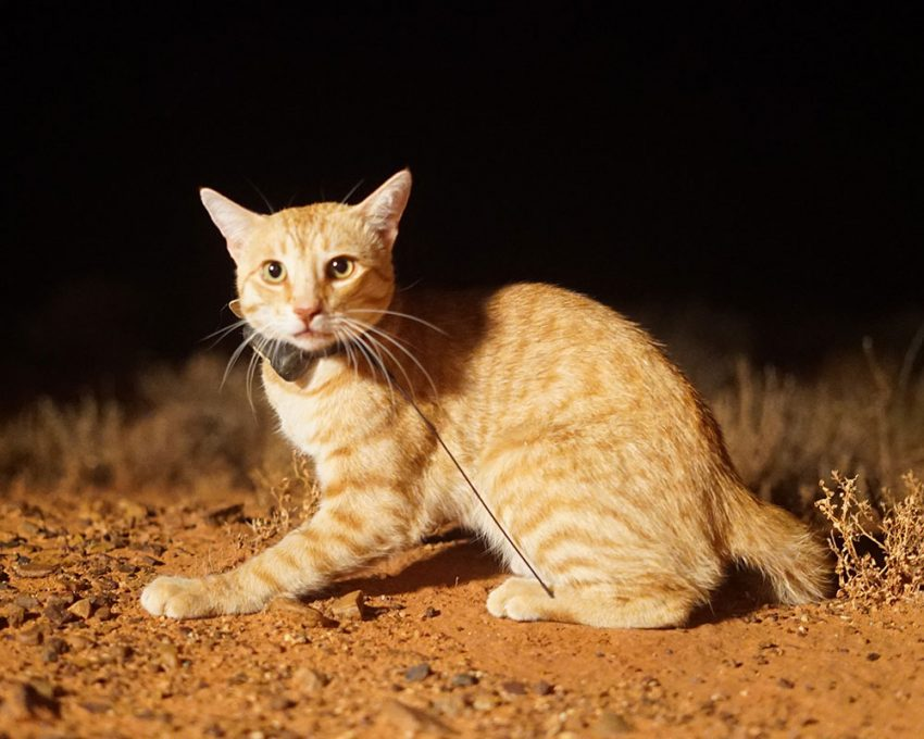 Gps Cat Collar Australia