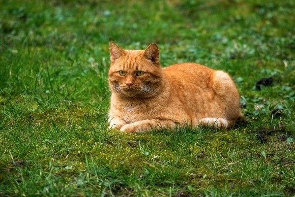Ginger cat on lawn is invisible to dogs