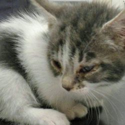 Kitten maltreated with human medicine for conjunctivitis