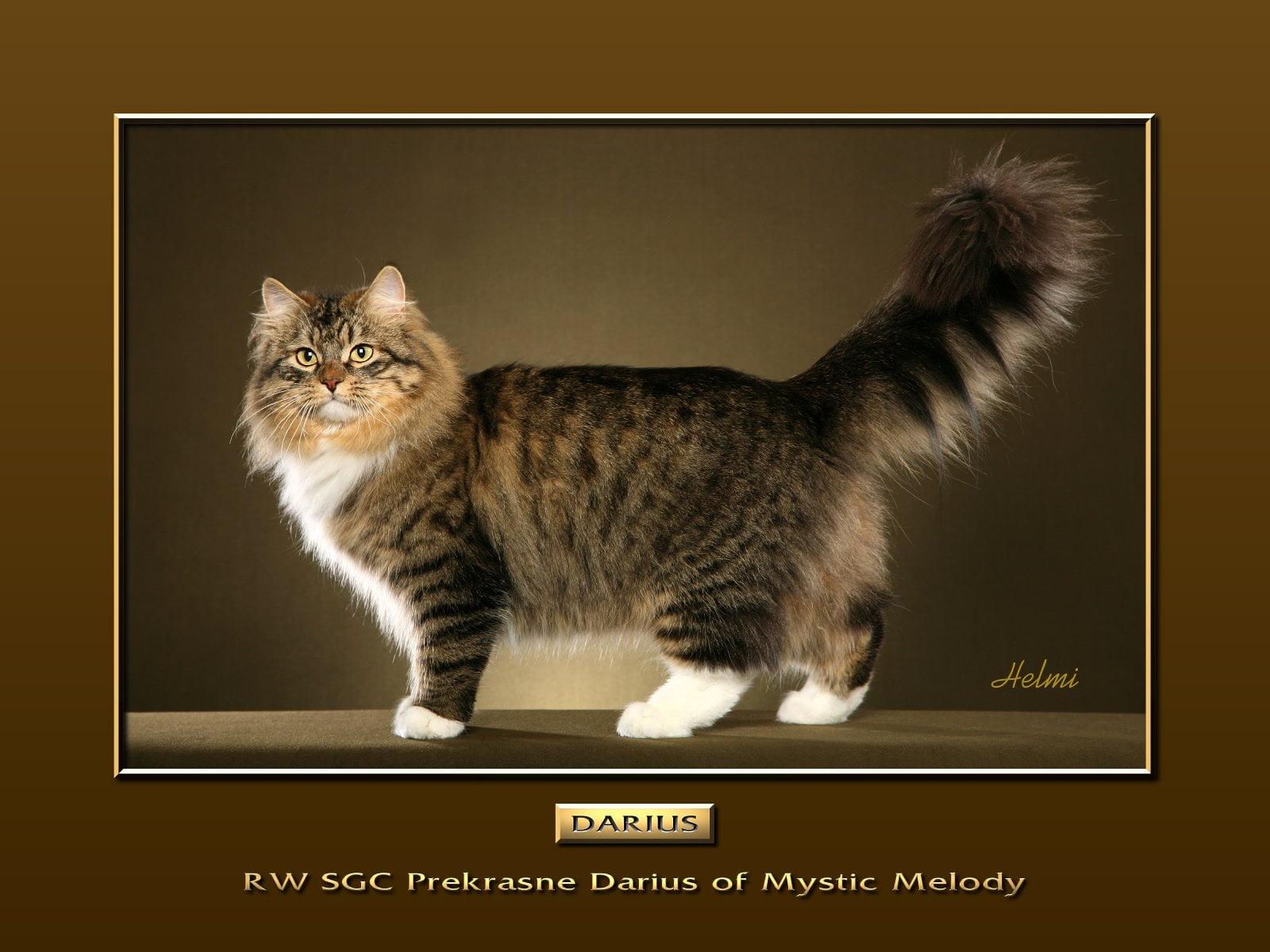 Siberian cat Darius
