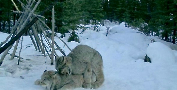 What appears to be a couple of Canada lynx mating
