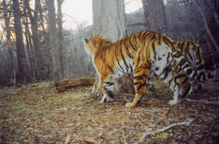 Amur tiger in the wild - camera trap photo