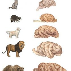 Brain size comparison amongst selection of carnivores