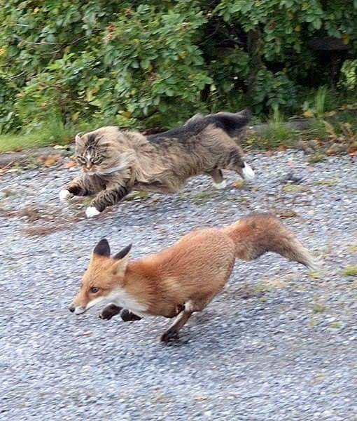 Cat and fox race together