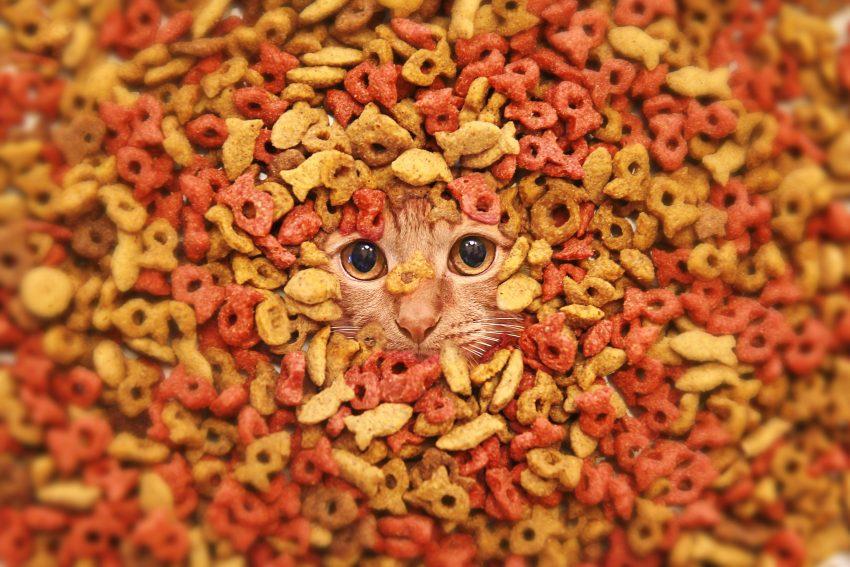 Cat in dry cat food