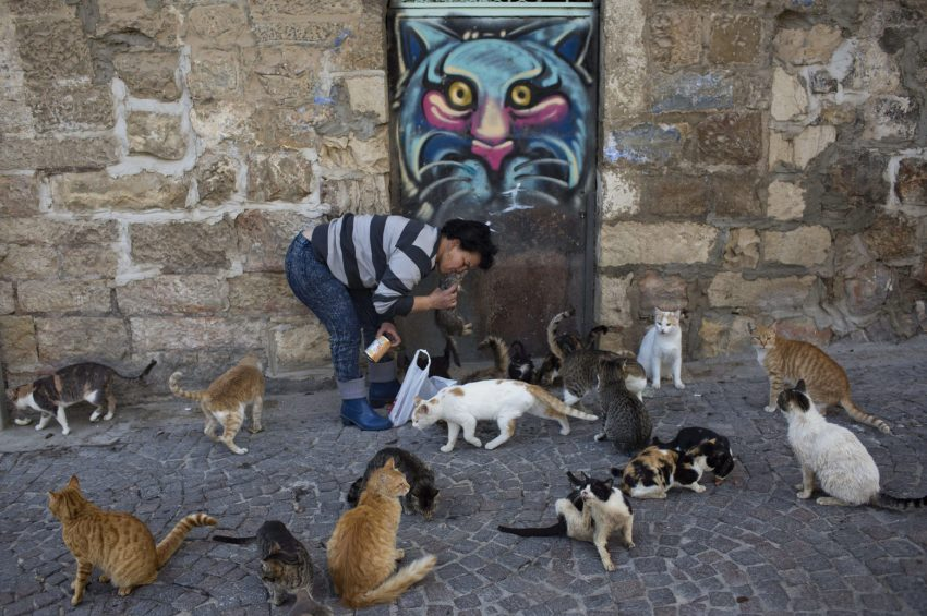 A woman feeds community cats in Jerusalem, Israel. Photo: EPA/ABIR SULTAN