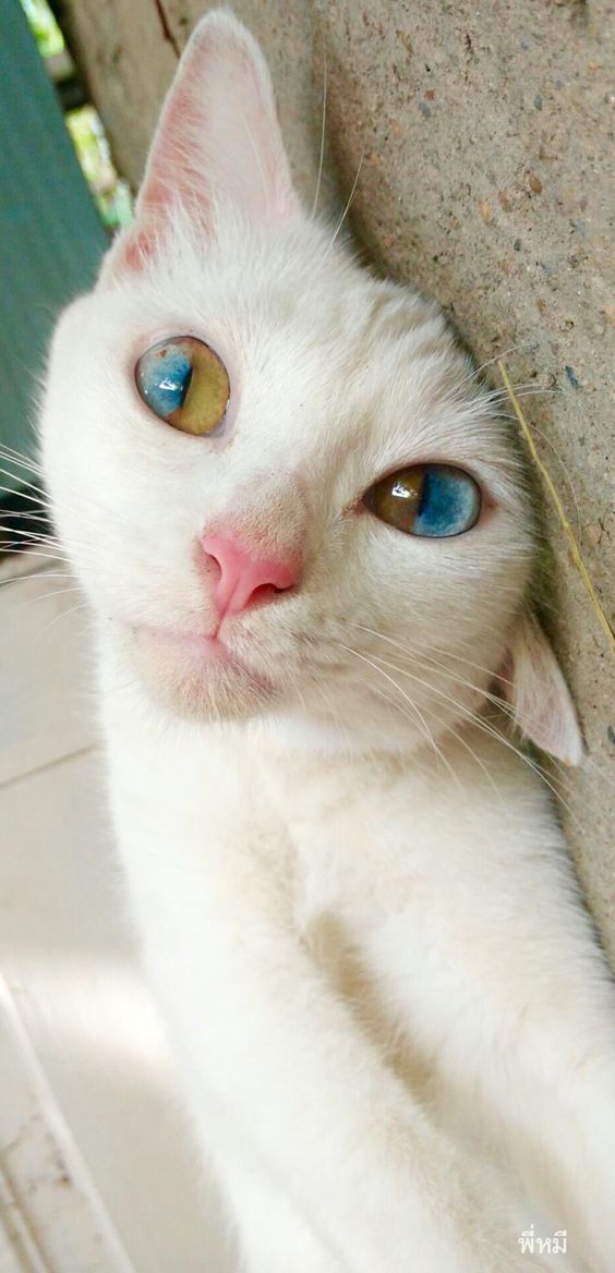 Extraordinary bicolour eyes in a white cat