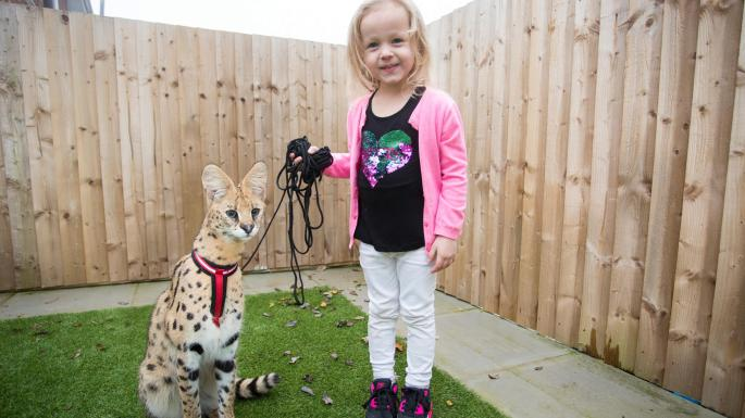 Serval as a pet in the UK