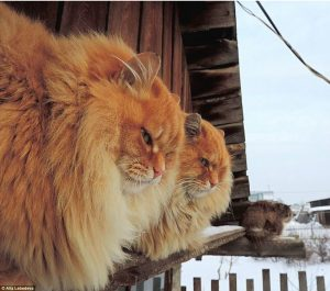 Genuine Siberian cat in Siberia. Photo by Alla Lebedeva
