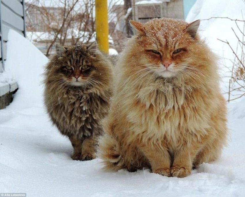 Genuine Siberian cat in Siberia. Photo by Alla Lebedeva