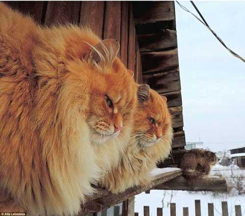 Siberian cat in Siberia