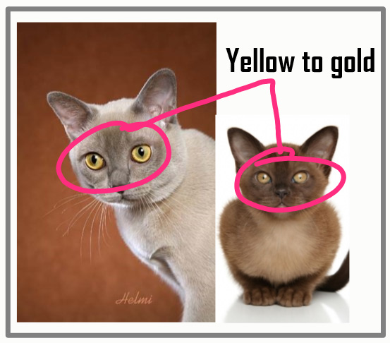 What color eyes do Burmese cats have?