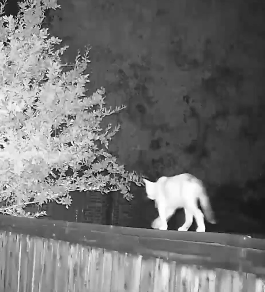 Feral cat at night on neighbors fence