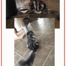 My Siberian Cat is Hypoallergenic