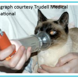 Are siamese cats prone to asthma?