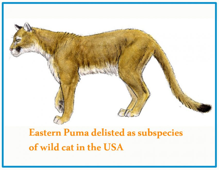 Eastern Puma delisted as subspecies of American wild cat
