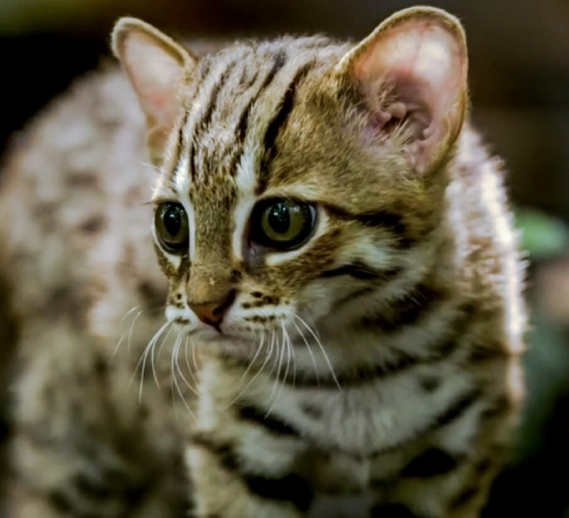 rusty-spotted-cat-A.jpg