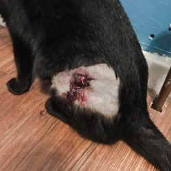 Result of Cat Spaying Operation in Flank Looks Horrendous