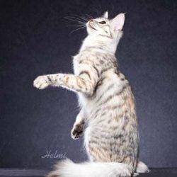Are Tukish Angora cats hypoallergenic? No