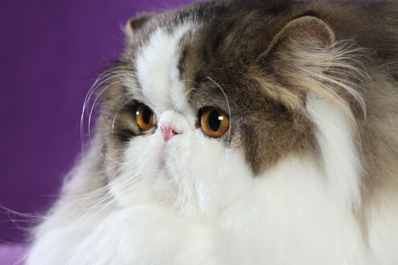 Are Persian Cats Healthy? I am afraid not.