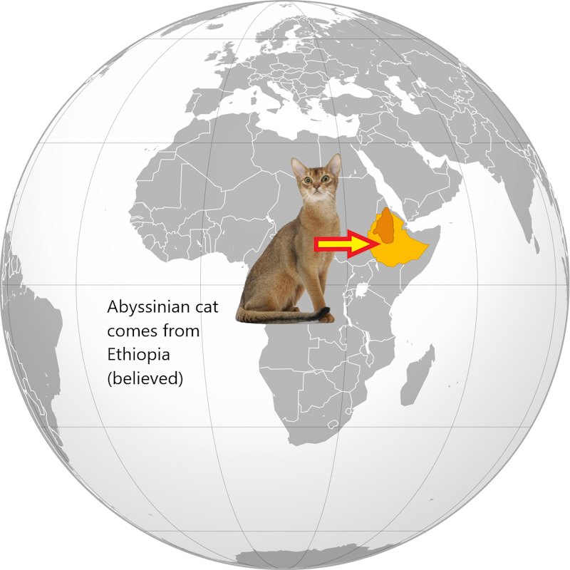 Where does Abyssinian cat come from?