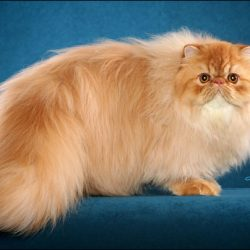 Abnormal cat breeds